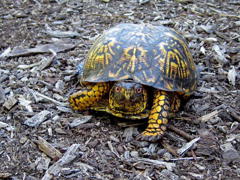 close up view of a painted turtle