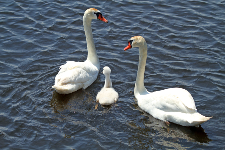 close up view of three swans