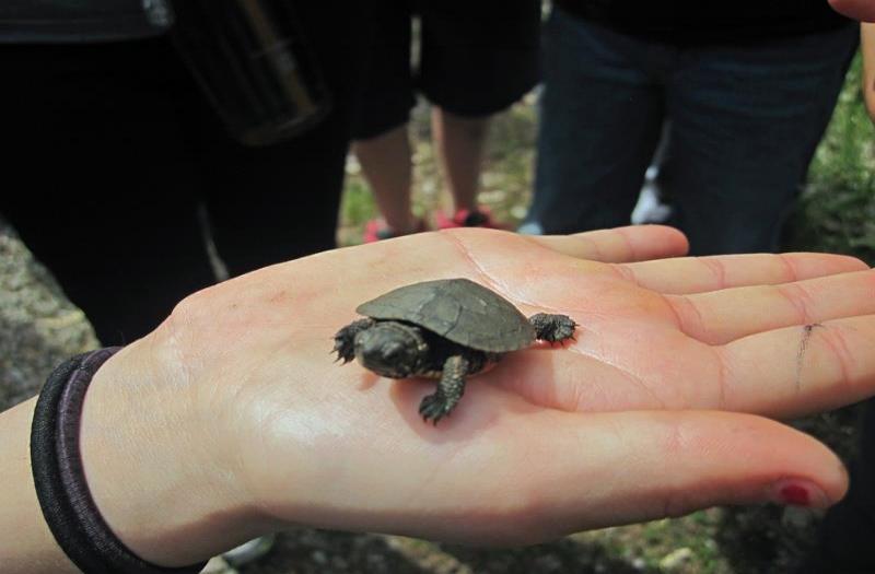 Oakreidge turtle.jpg