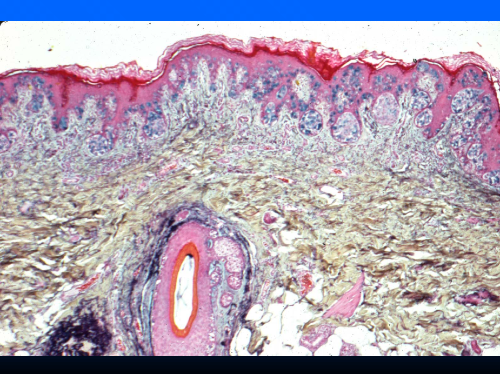 histology1.png