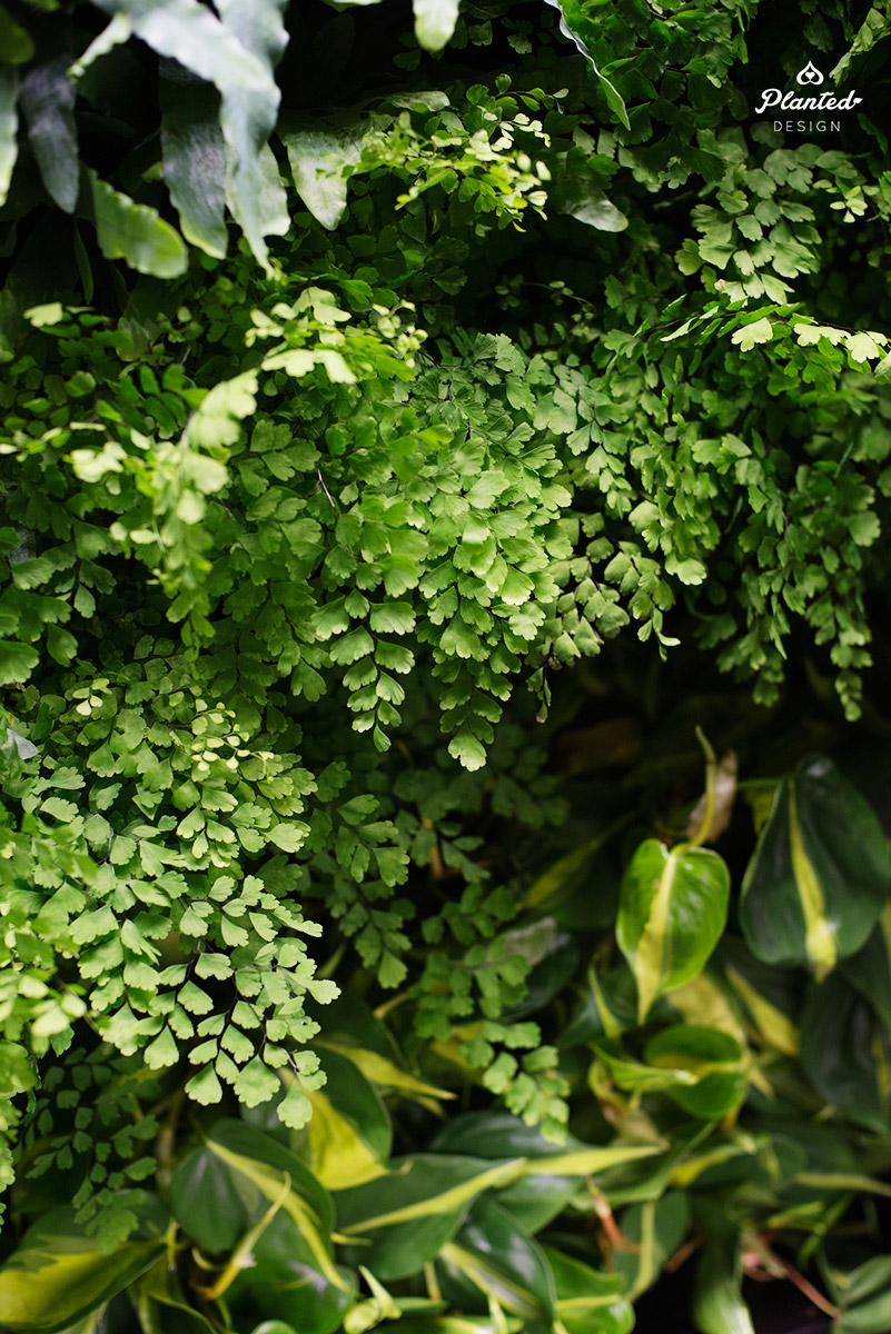 PlantedDesignGoogleAccessLivingVerticalWallRestaurantSunnyvale03_Web.jpg