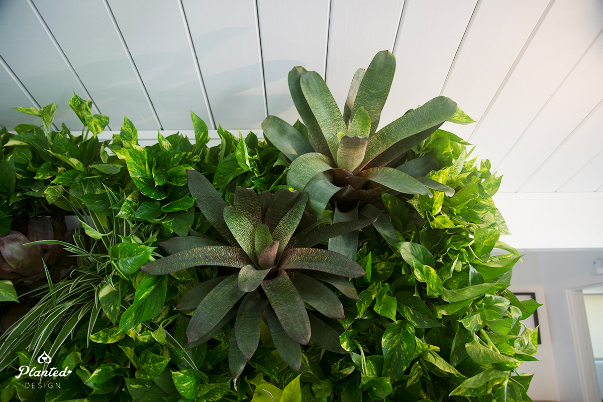 Planted Design Living Vertical Wall Residential Pothos Air Quality Eichler 17.jpg
