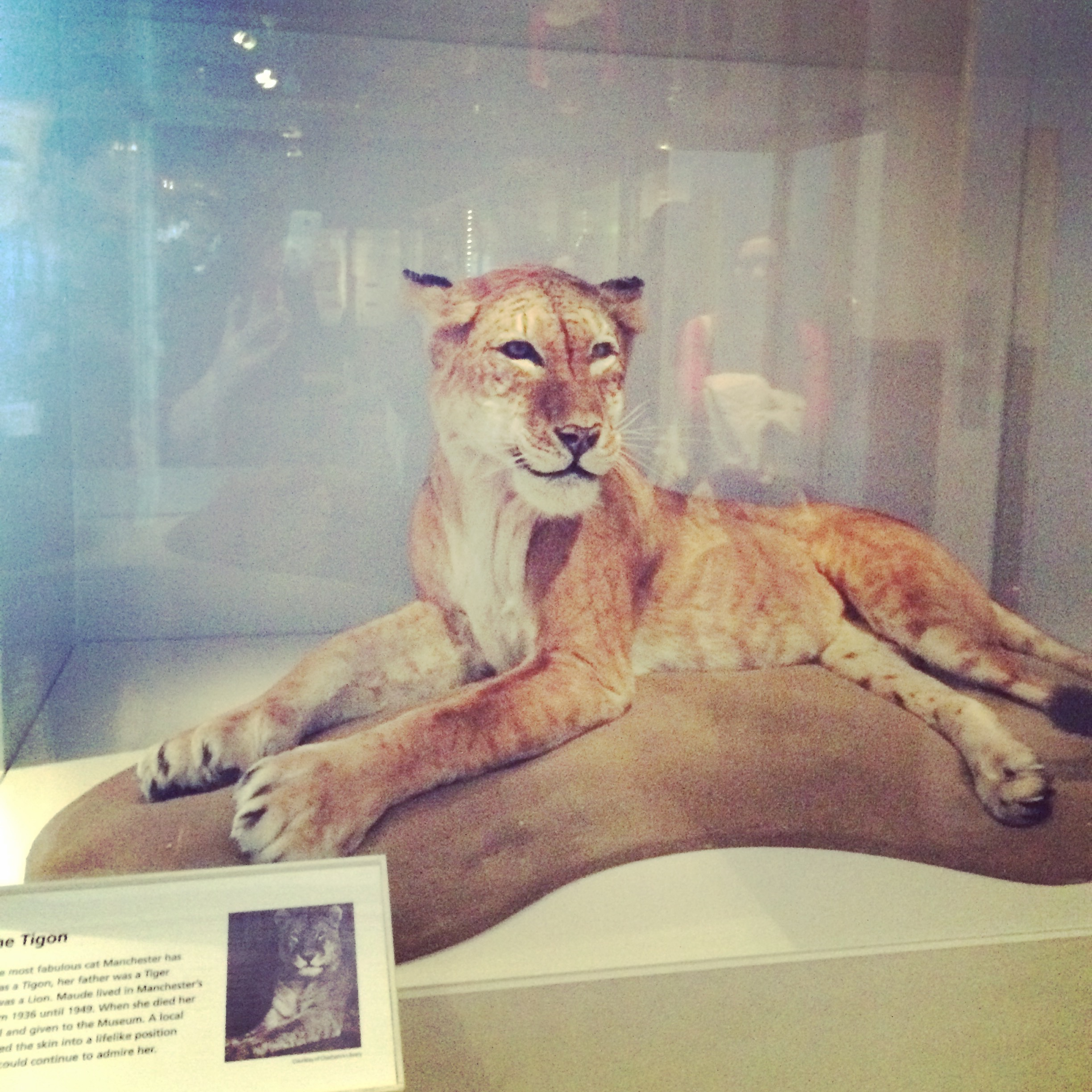 Wild cat from the Manchester Museum