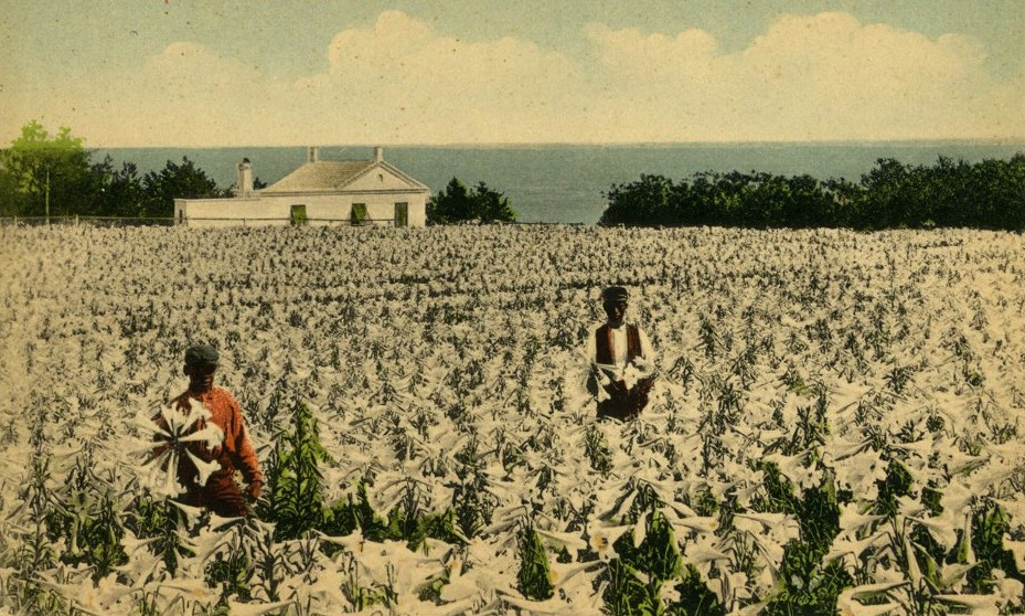 Easter Lily Field. Photo source: National Museum of Bermuda.