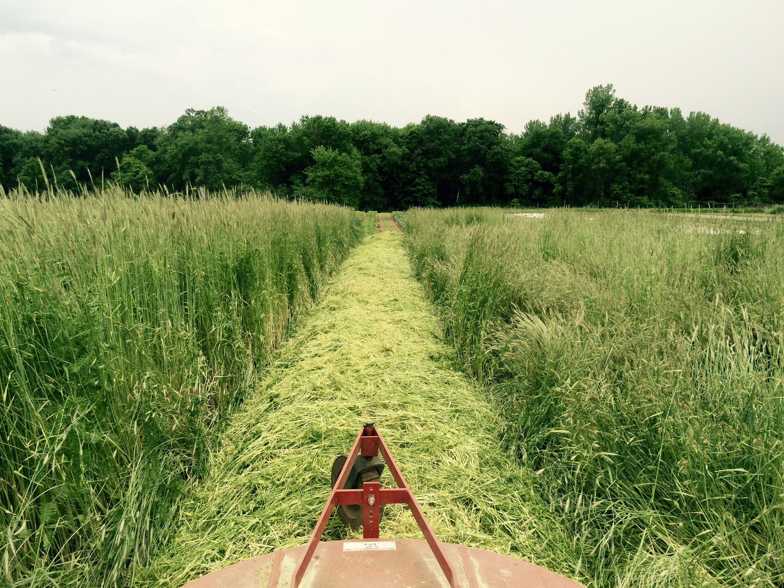 Mowing a tall stand of rye and hairy vetch is labor-intensive, but it supplies the soil with much beneficial carbon and nitrogen.