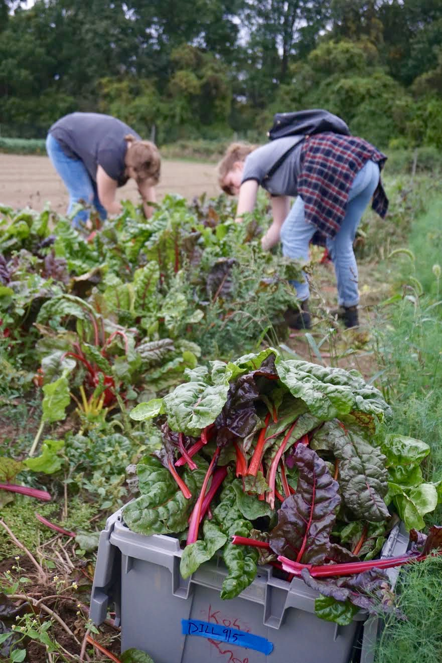 Photo credit: Eilif Ronning, PFP Media Intern Student volunteers from the  Culinary Institute of America  chop away at Swiss chard.
