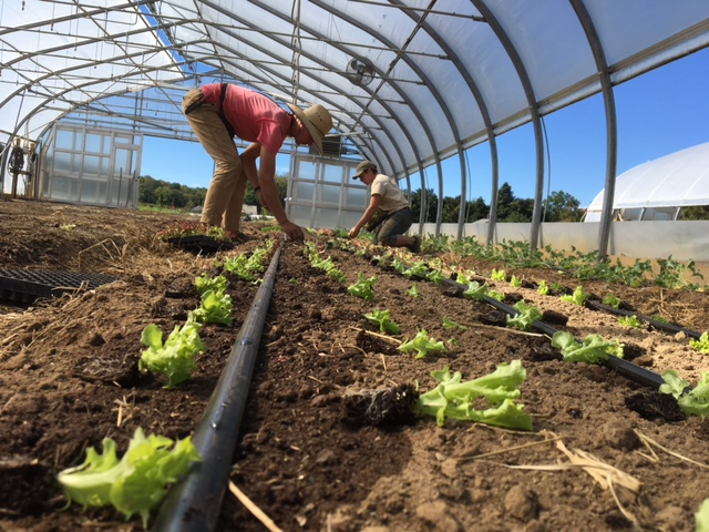 growers row winter greens 2.JPG