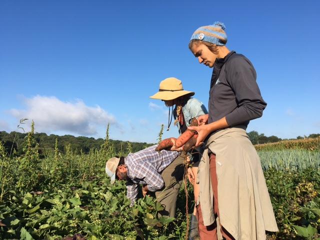 Field crew surveys the sweet potato crop