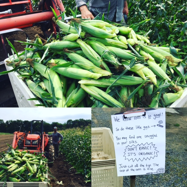 farm post sweet corn.JPG