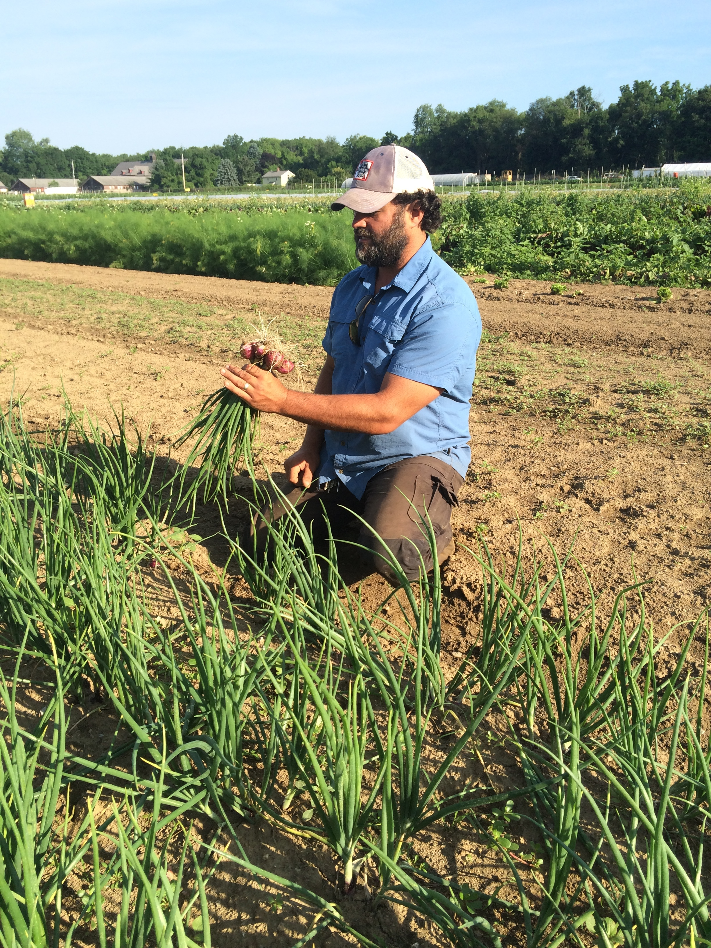 Mini-onion harvest!