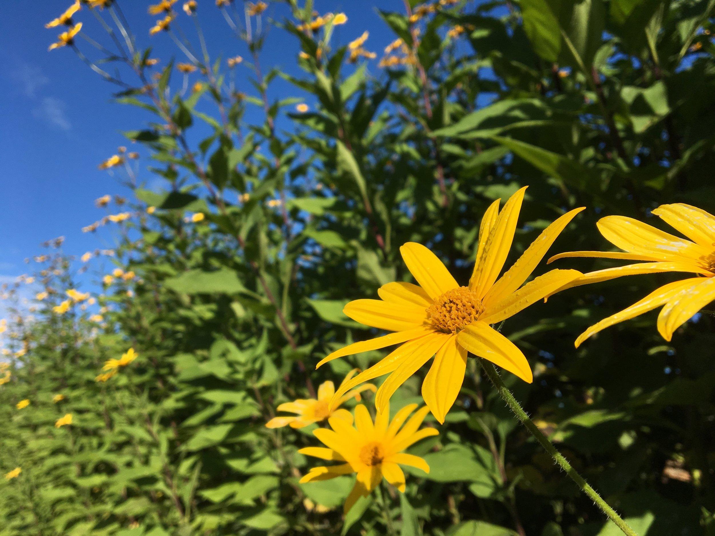 Sunchoke flowers in late September