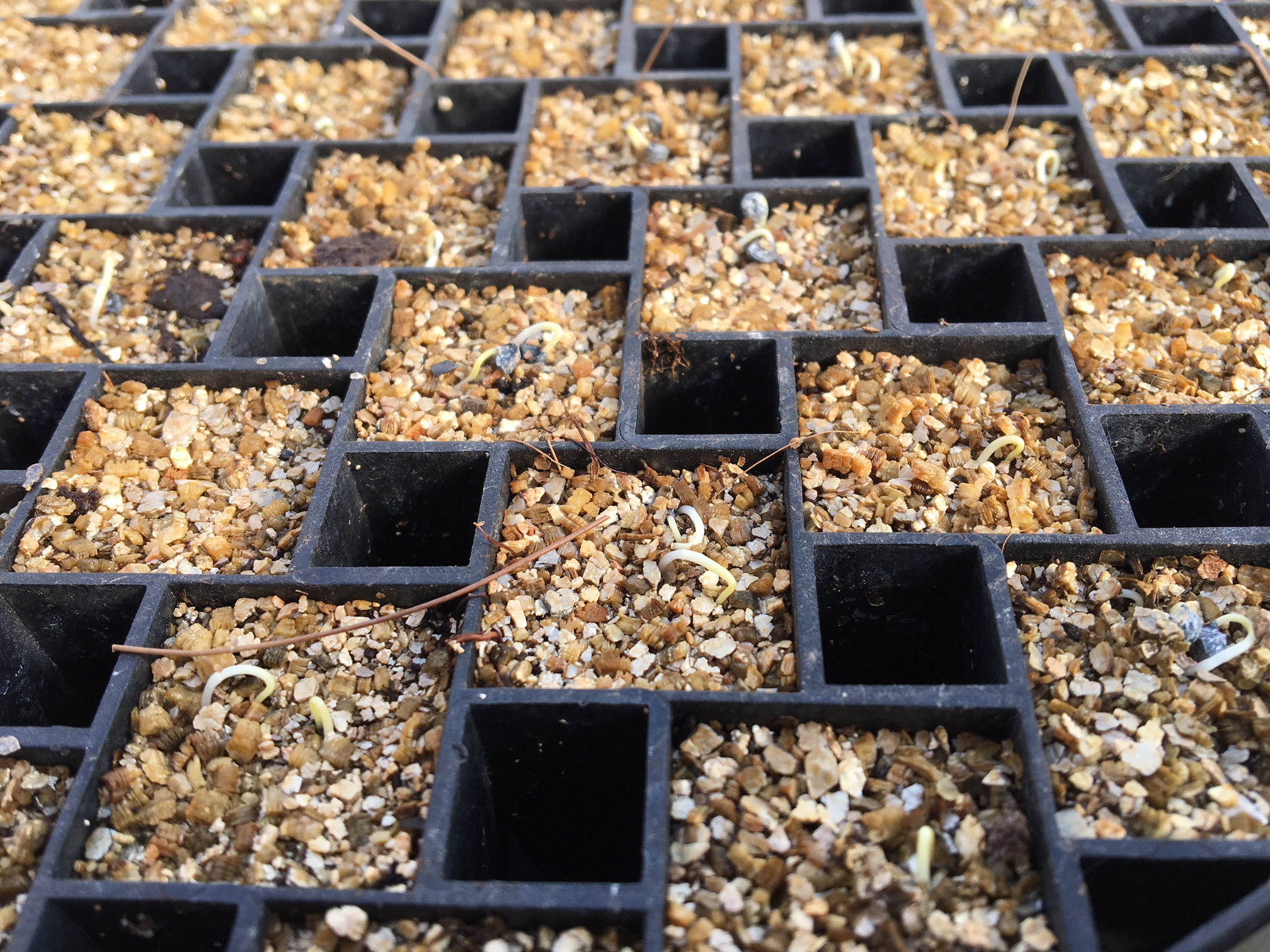 Newly sprouted onion seeds