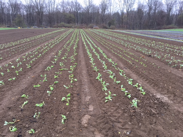 Our first planting: 18,000 plants in the field!