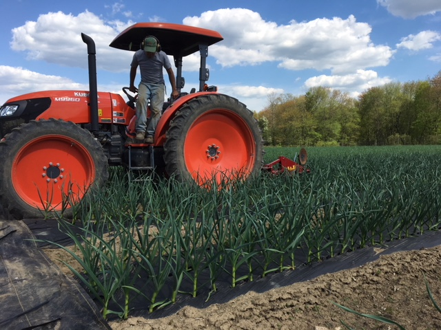 Cultivating the garlic in May
