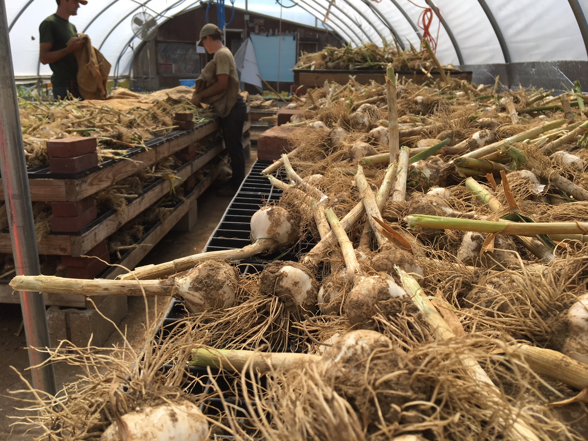 Garlic curing in the greenhouse