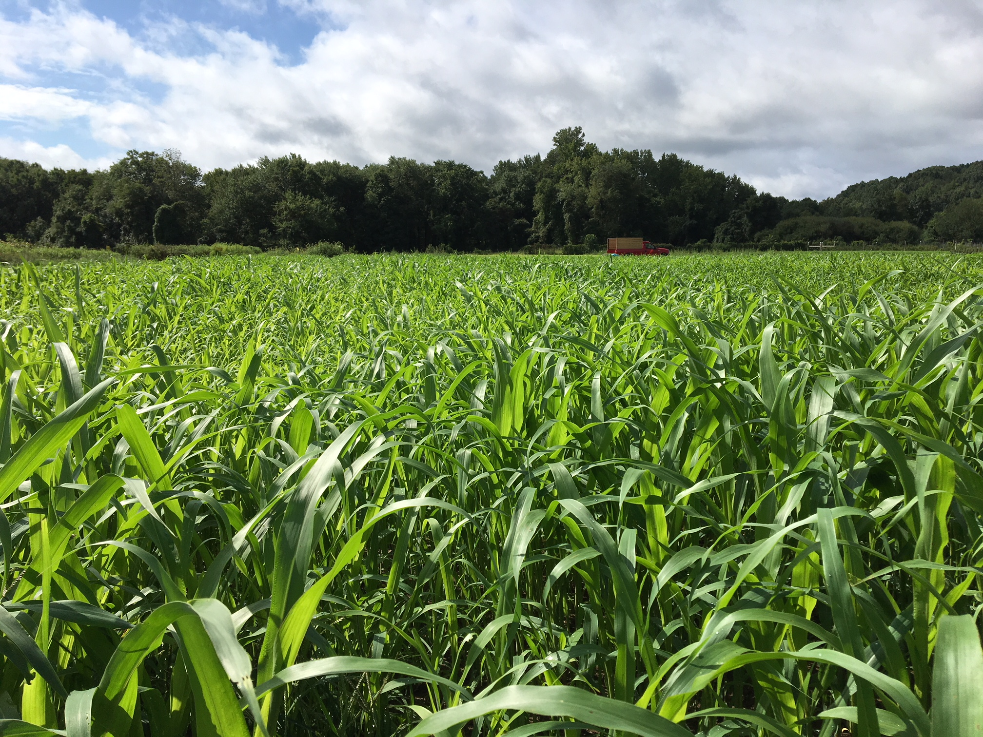 Fields of sudan grass and buckwheat cover crop