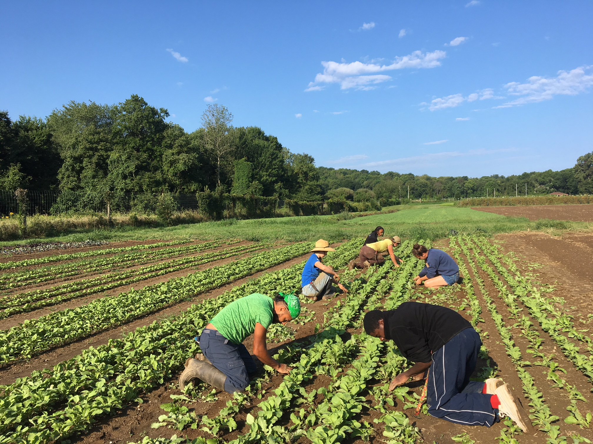 The whole team thinning and weeding winter radishes and turnips