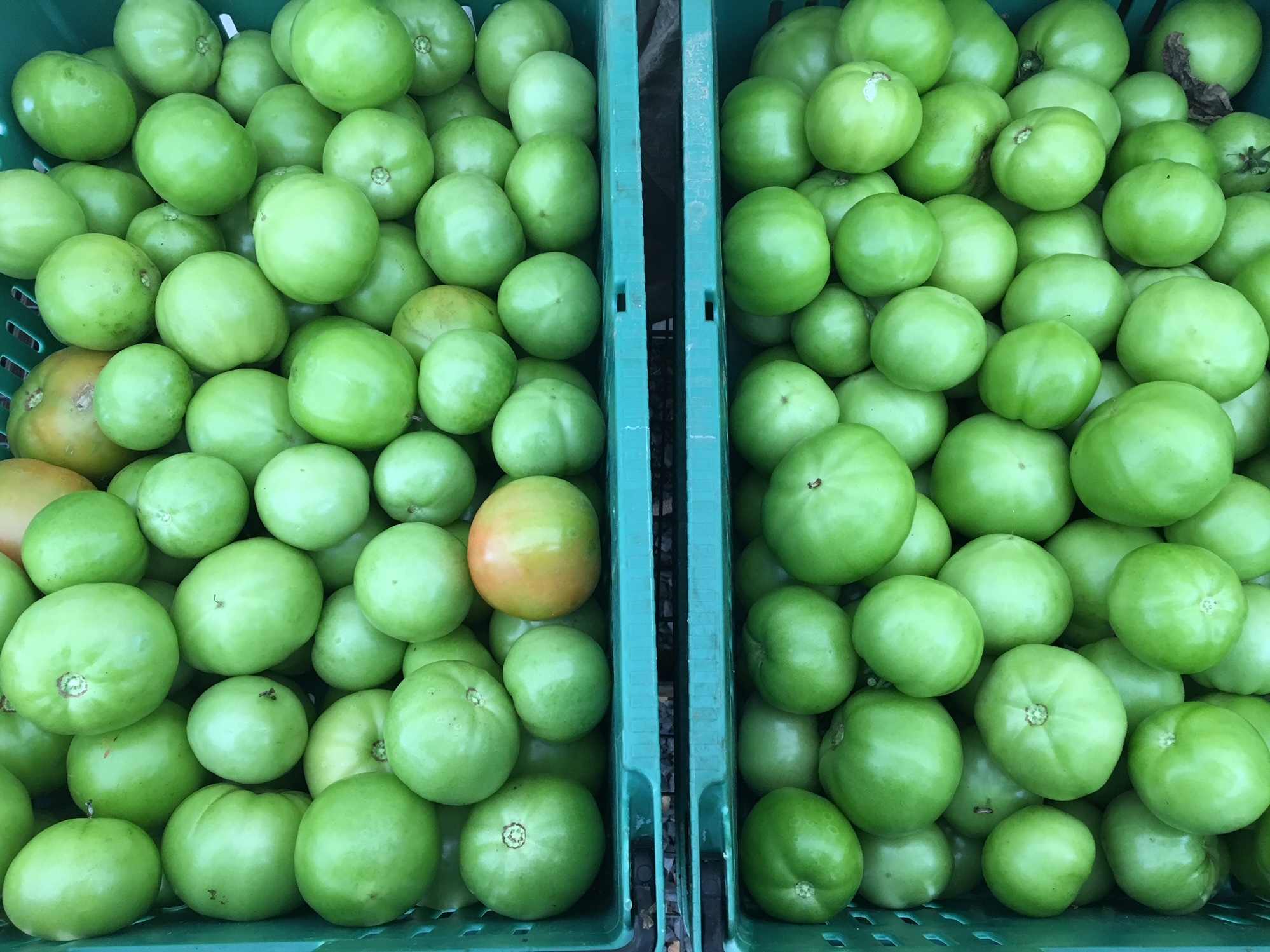 Green tomatoes ready for distribution