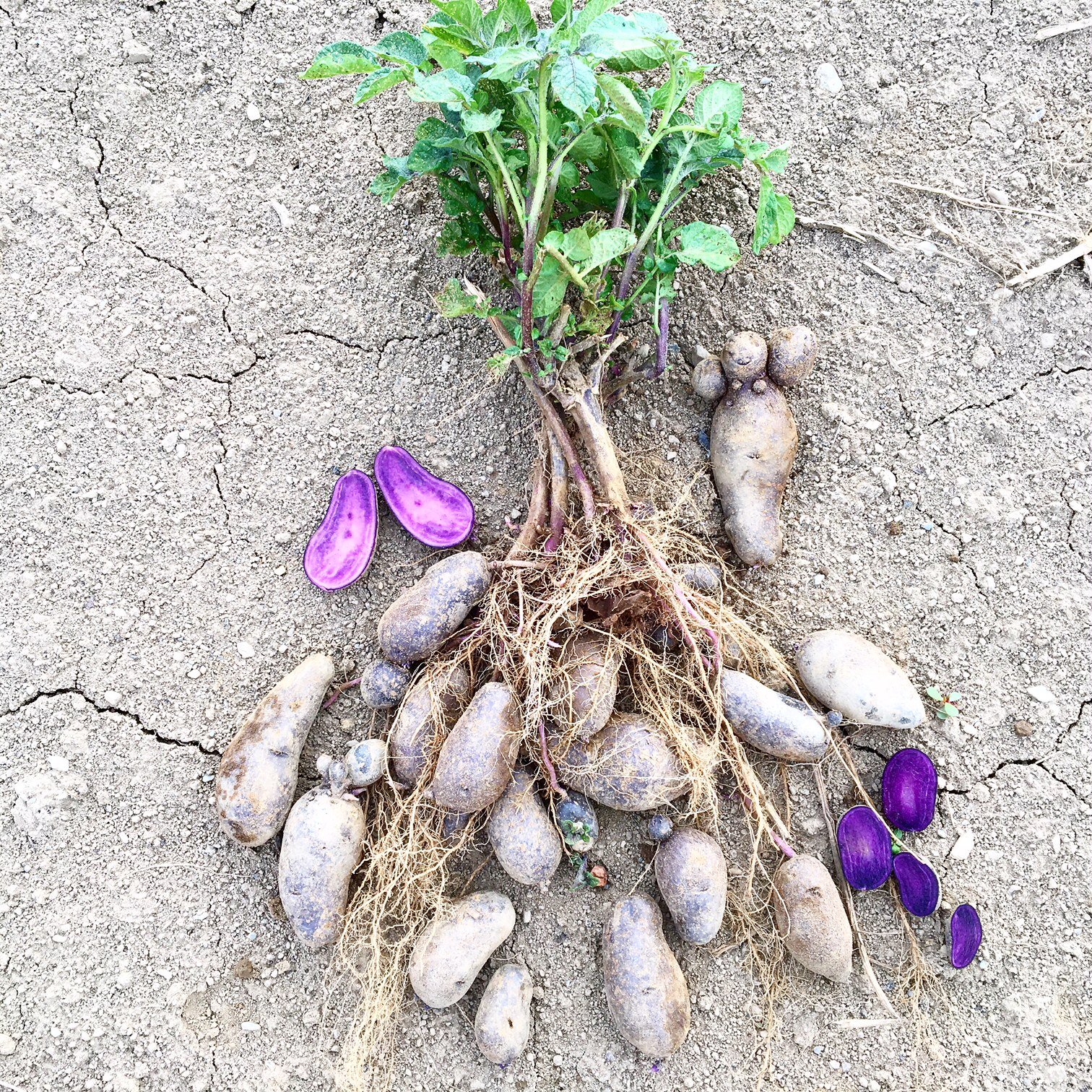 Purple fingerling potatoes straight from the plant!