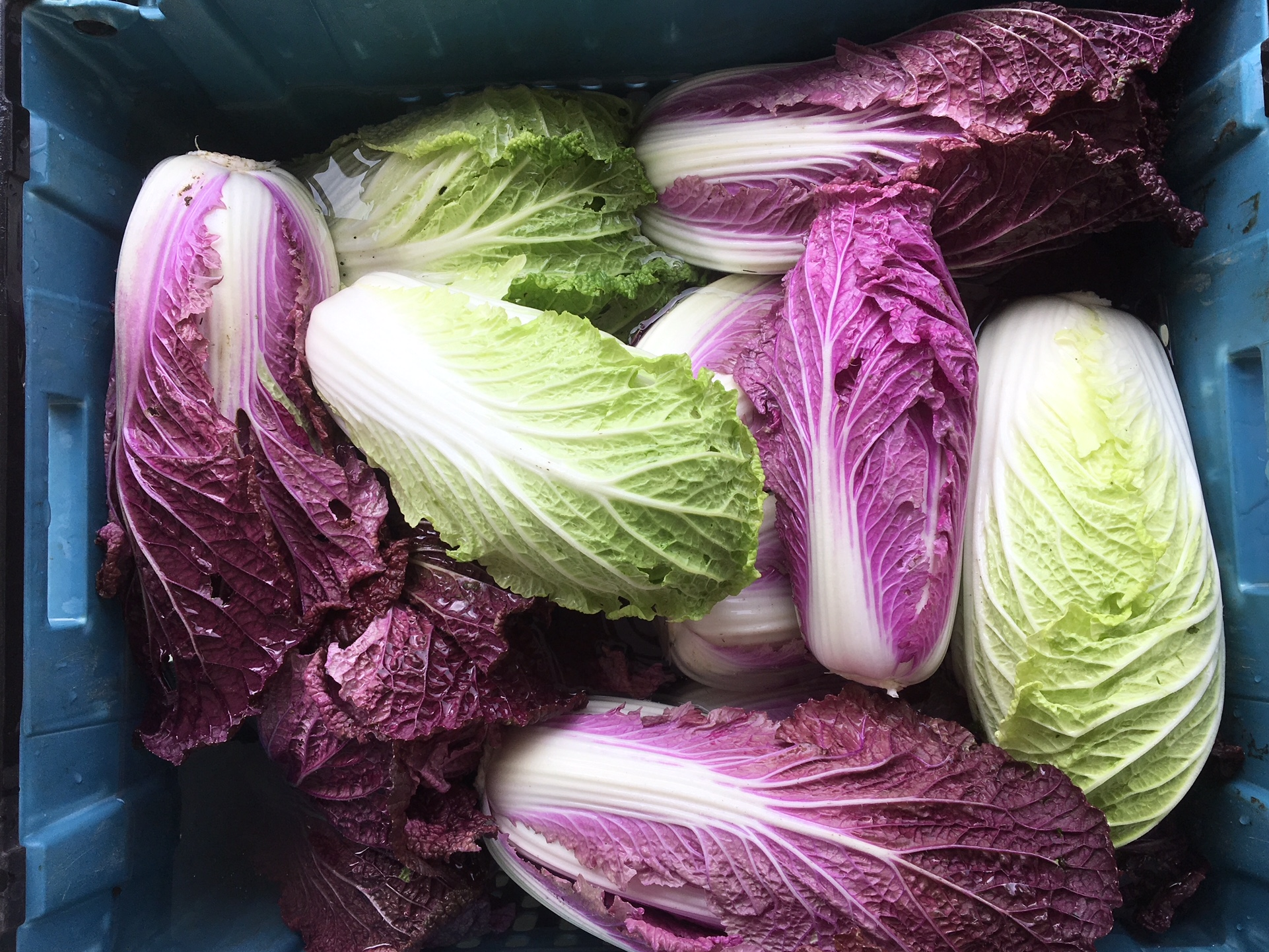 NEW purple Chinese cabbage