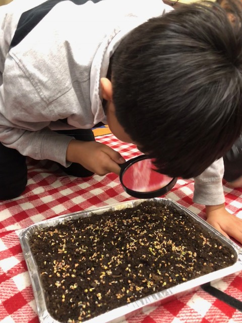 Students learn about the magic of seeds by planting and caring for microgreens.