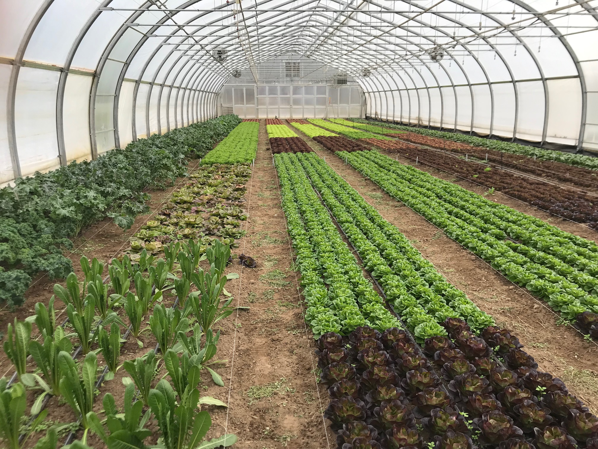 High tunnel greens are healthy and awaiting harvest