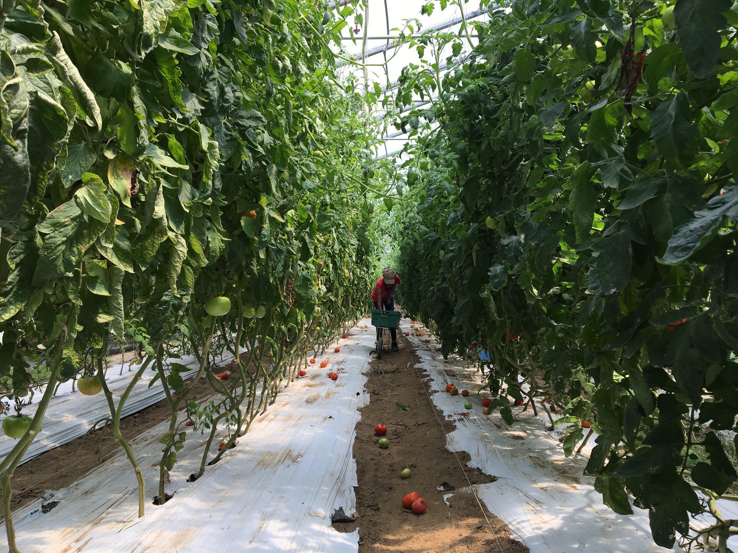 Tunnel Full of Tomato Plants