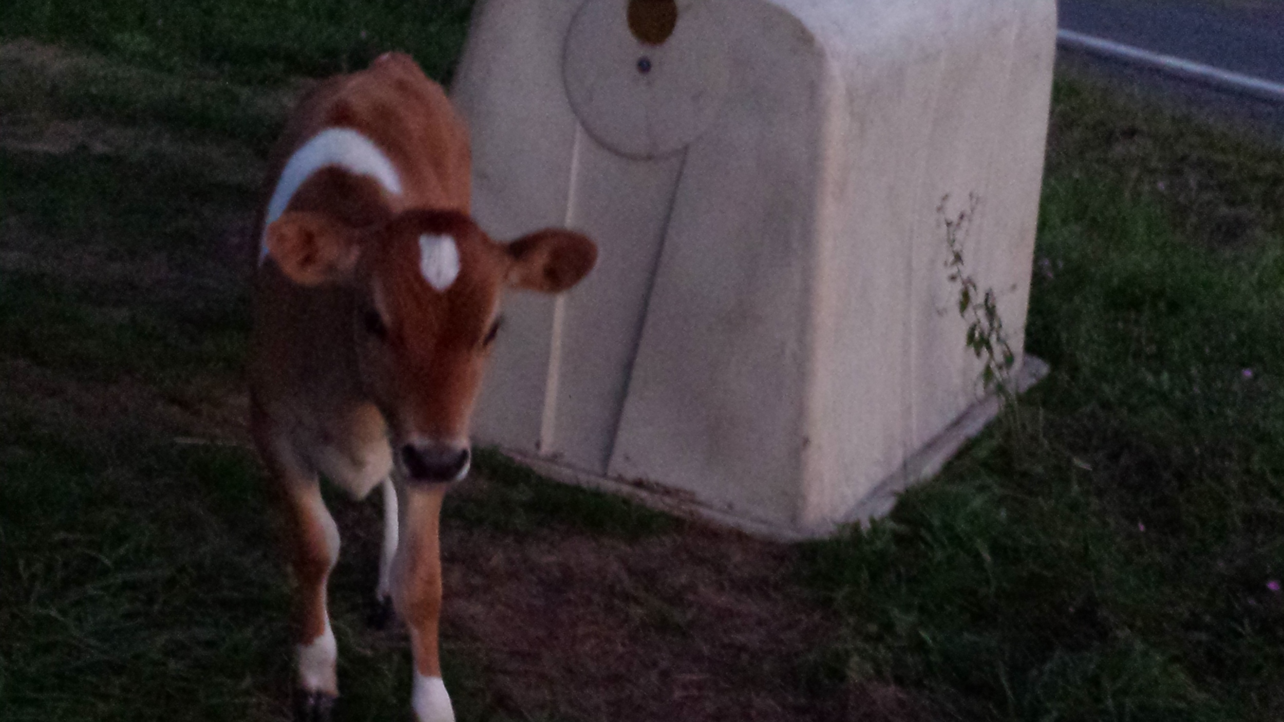 Pippin stands behind her calf hutch early in the morning.