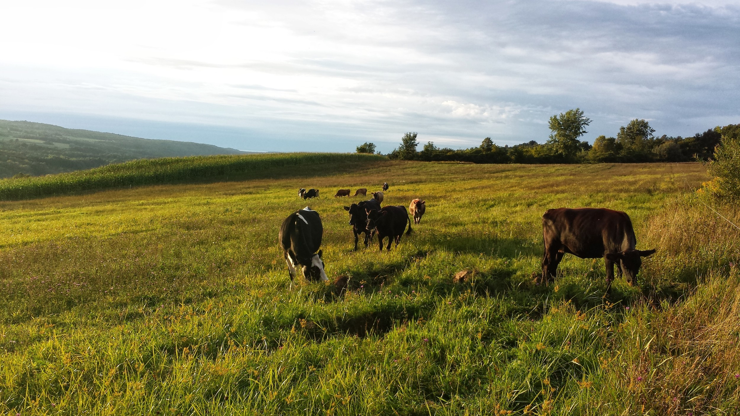 Our cows graze on pasture from early Spring through late Autumn