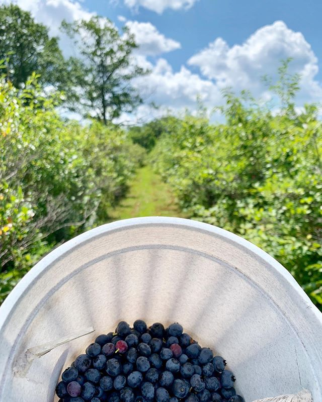 It's blueberry-picking season in the Berkshires, and we're close to a number of great spots!