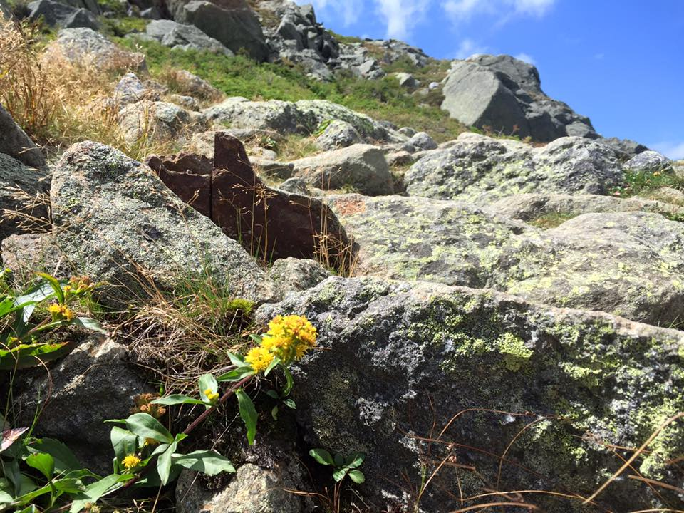 The Northern Presidential Range in New Hampshire is one of the few places in the world to find this flower - the Alpine Goldenrod