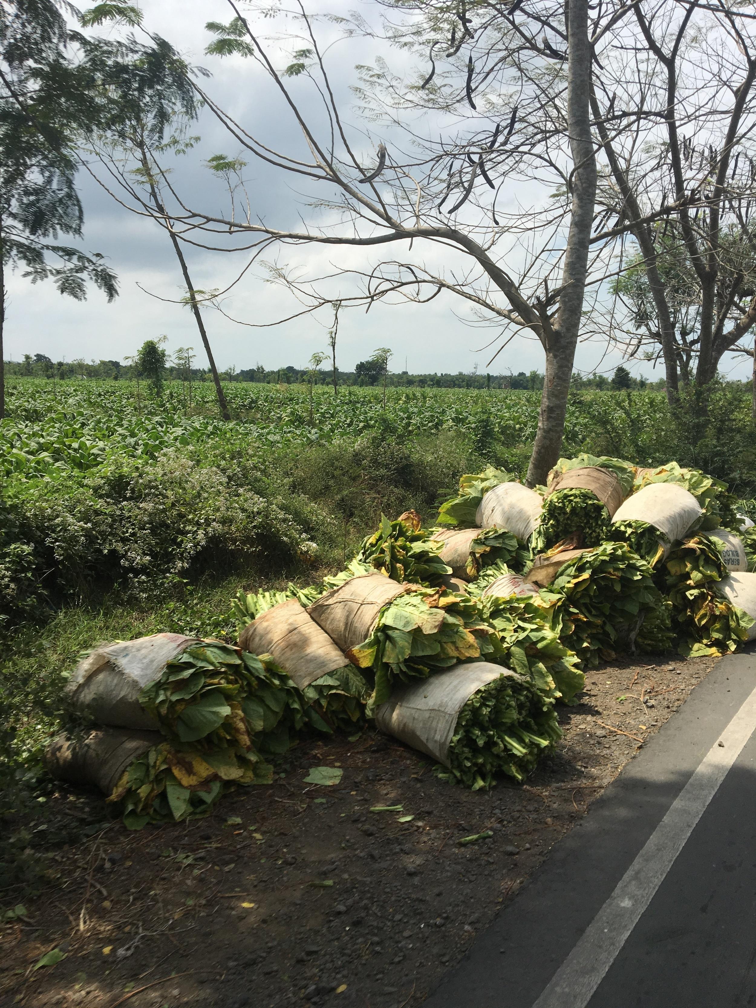 Tobacco: Lombok's #1 crop