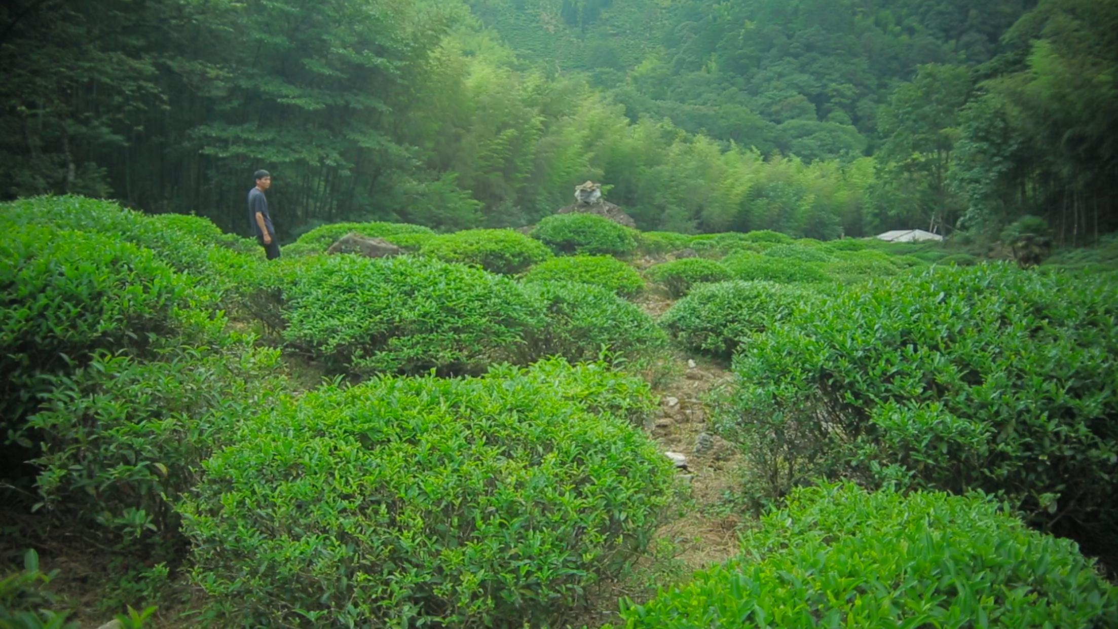 Film Still of field of Tongmuguan Smoked Bohea