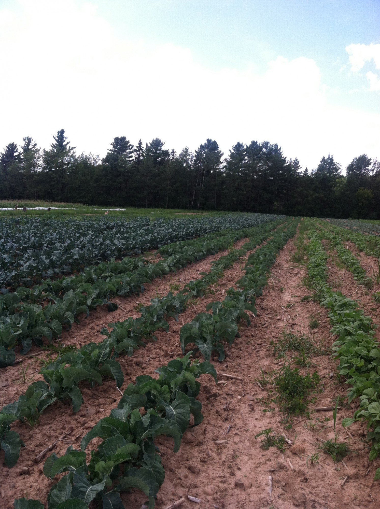 green beans and fall crops