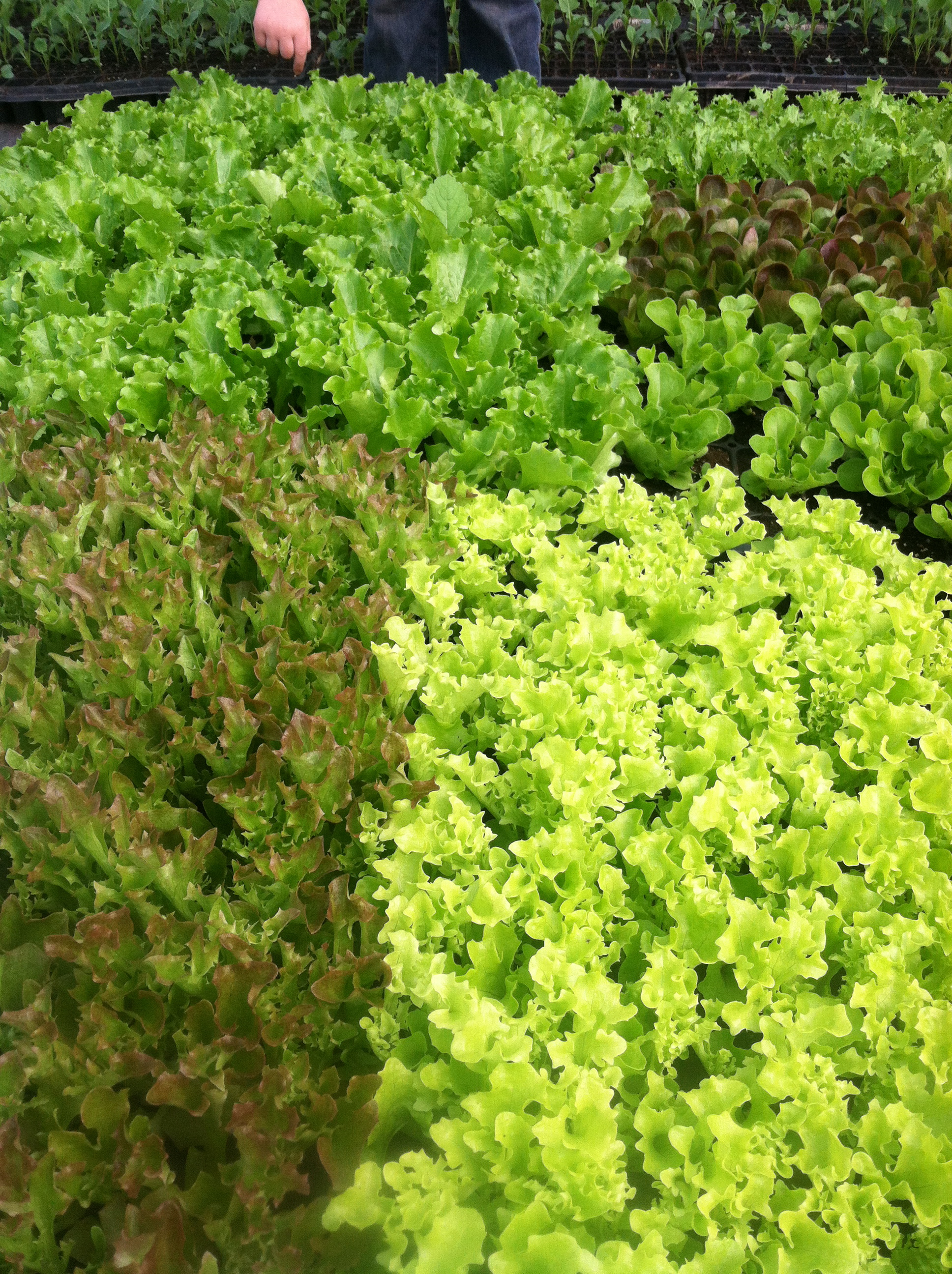 look at lovely lettuces