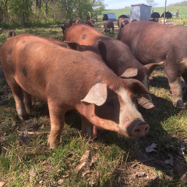 Beautiful happy red wattle pigs.
