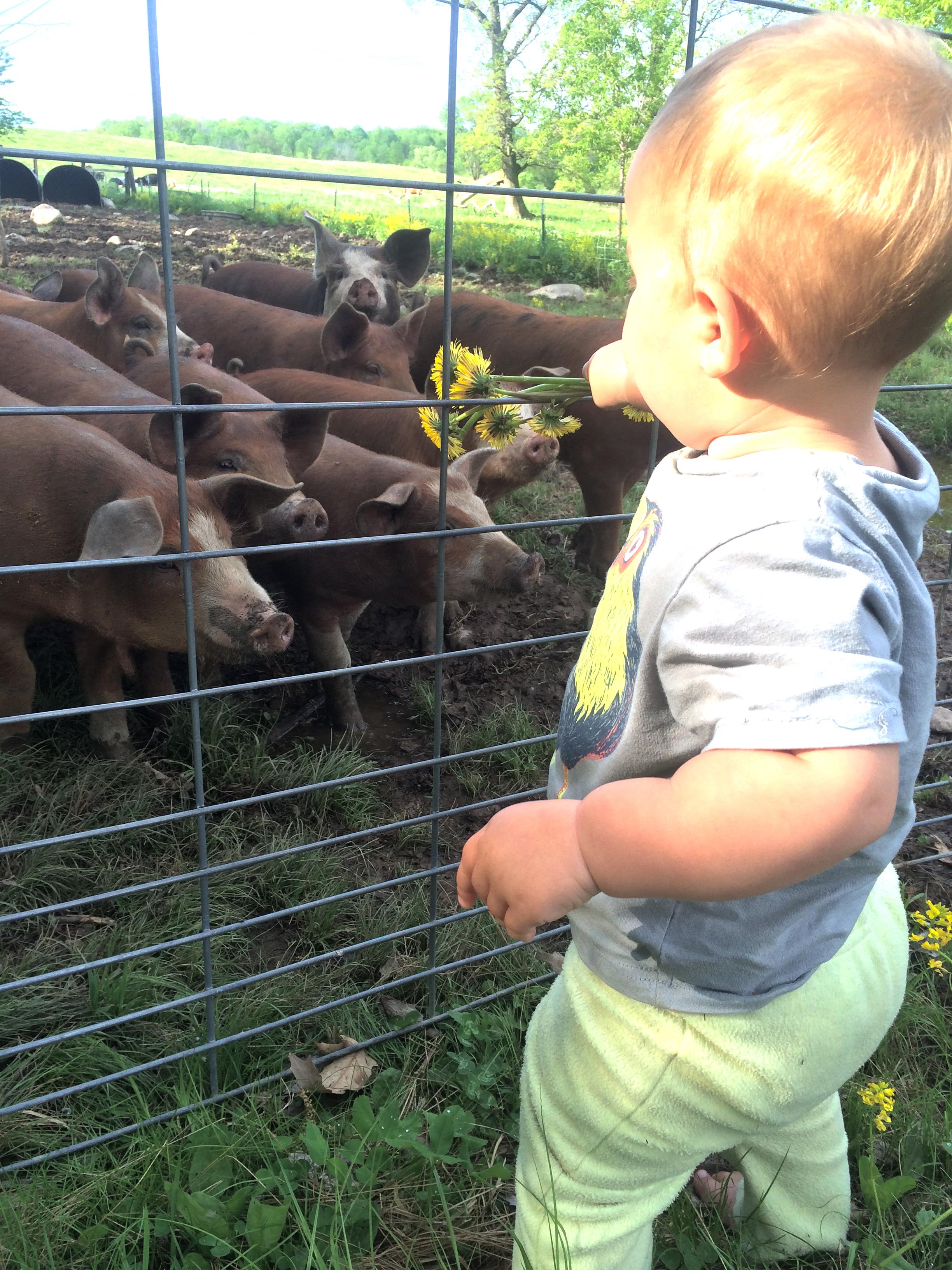 Sadie feeding the pigs dandelions.