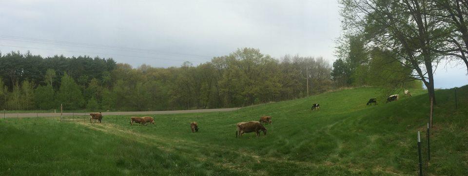 Beautiful cows eating beautiful grass!