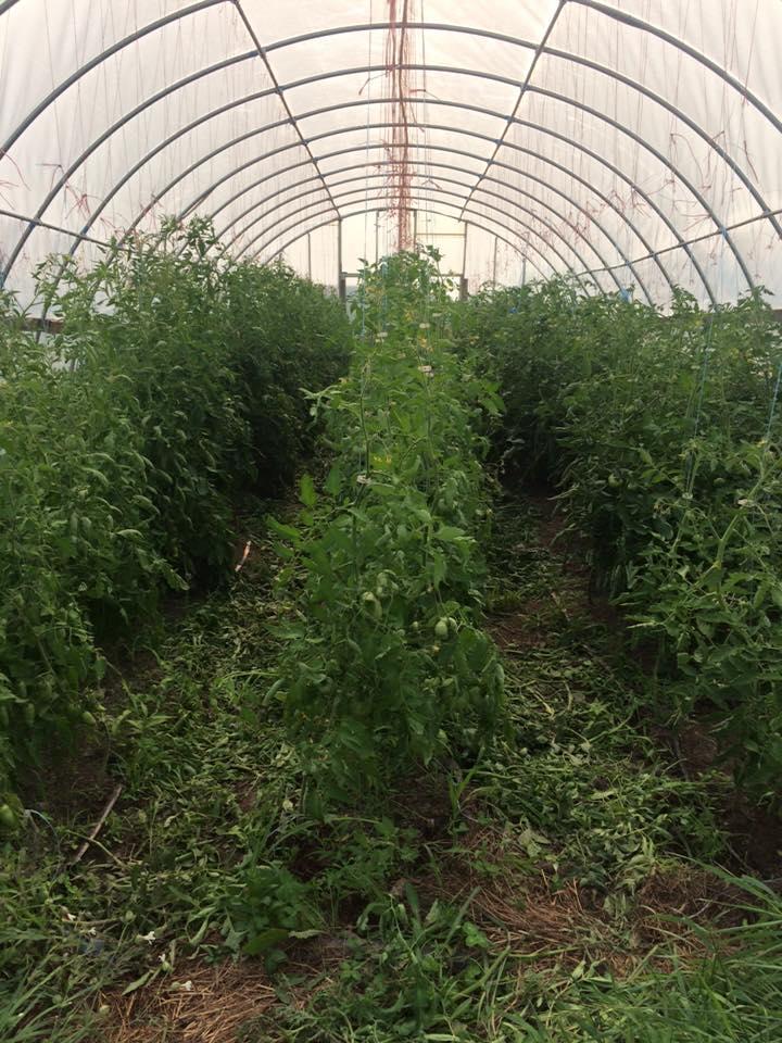 freshly pruned and trellised tomato plants