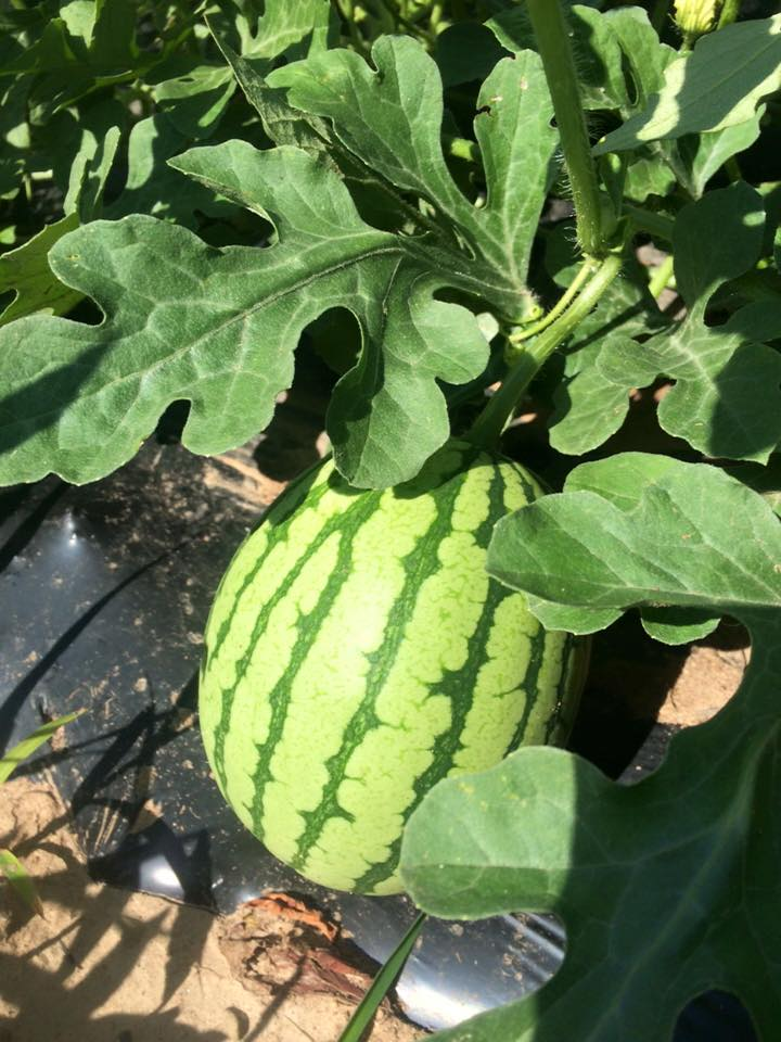 grow little melon, GROW! coming your way in about a month