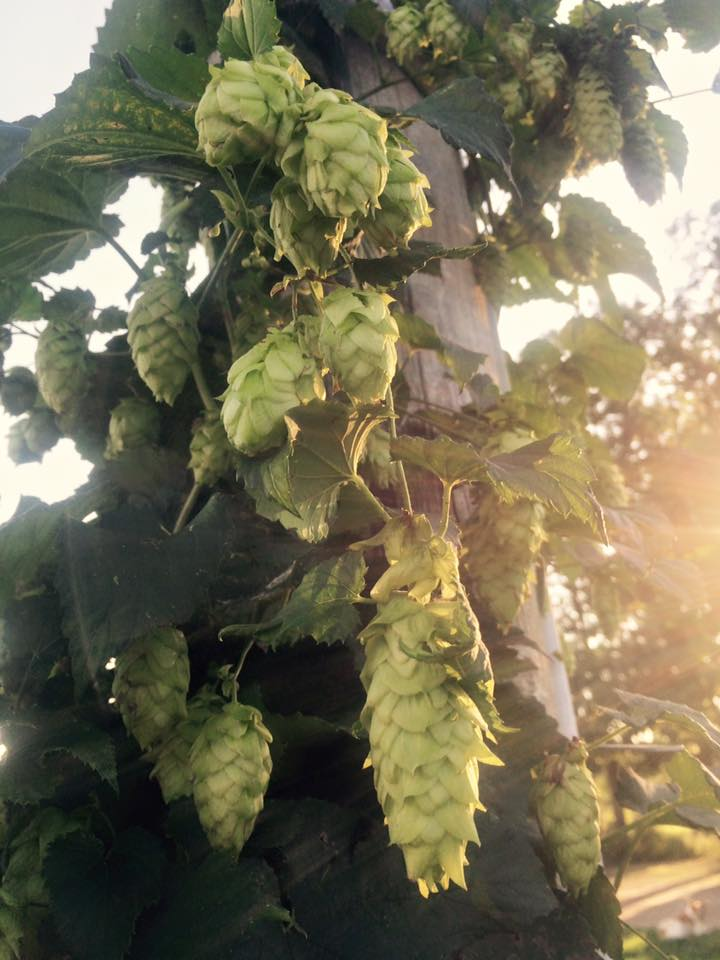 any brewers out there?  come get some hops!  They are the longest ones we've ever seen!