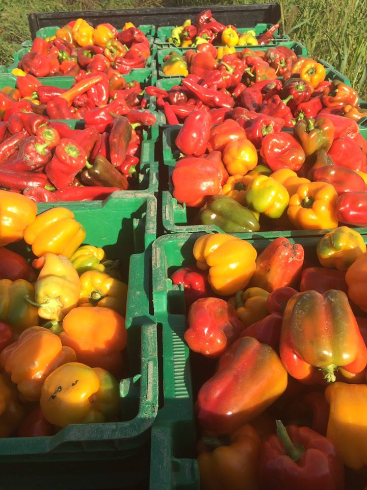 a beautiful bounty of bell peppers