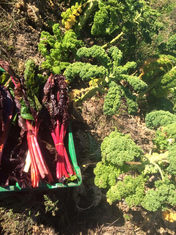 rainbow chard resting by the kale trees