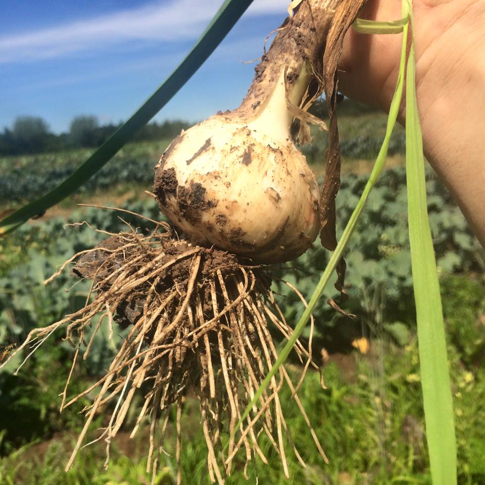 soon to be harvested... the garlic!