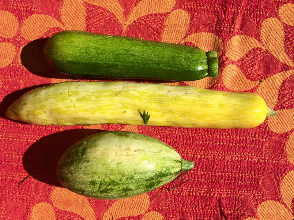 zucchini, summer squash, and an heirloom summer squash
