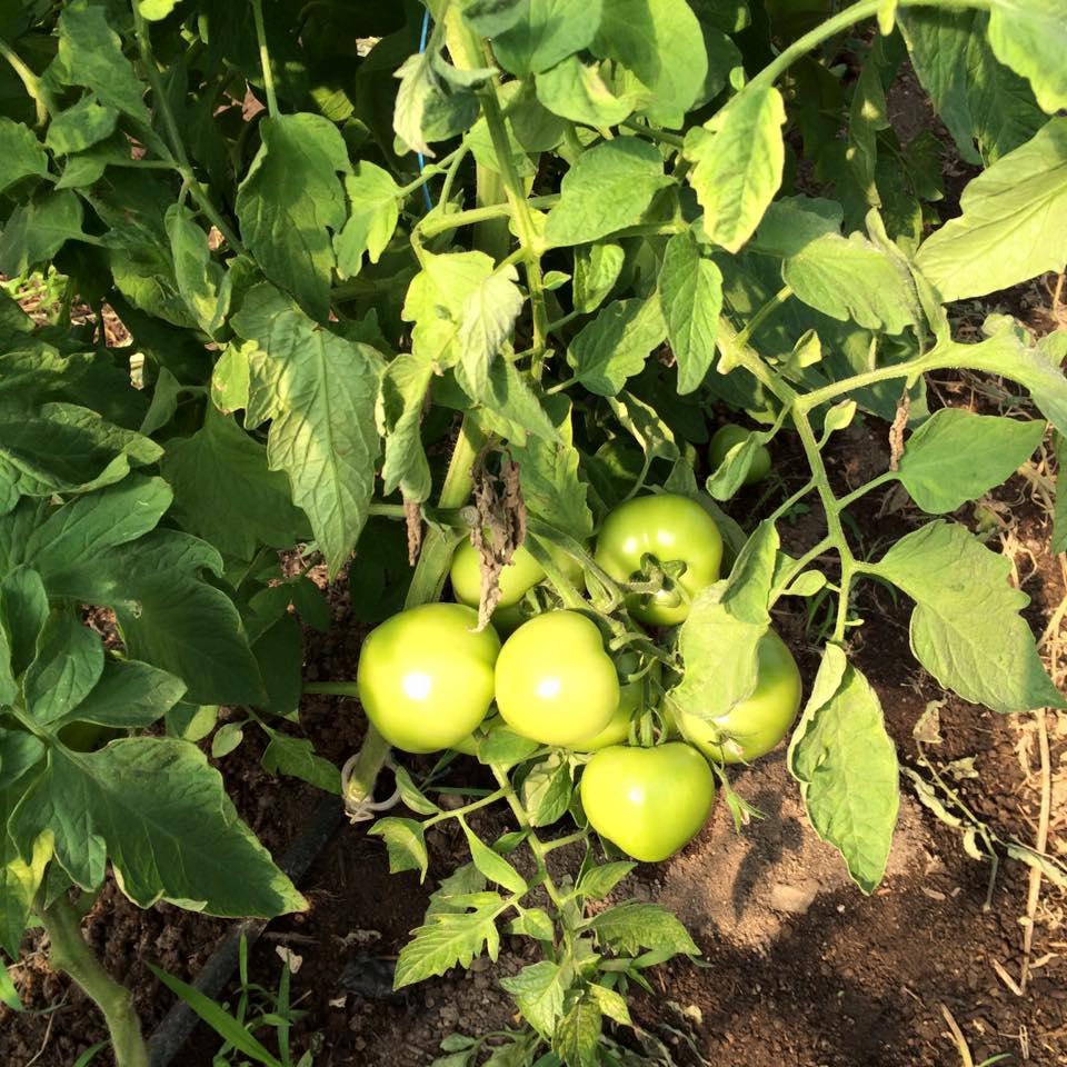 tomatoes! still green. sigh.