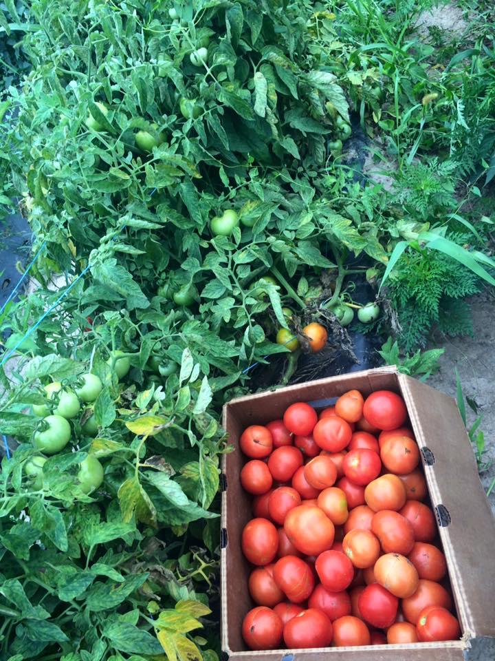 Tomato town!