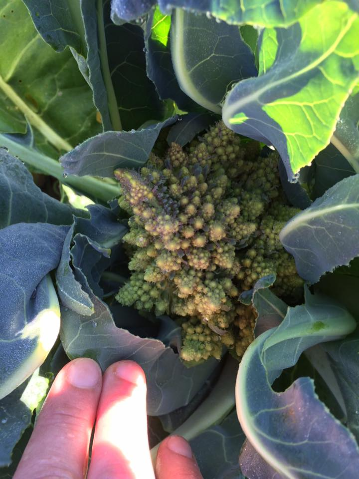 Oh no!  What's going on with the romanesco?!  So much planted, but it's not looking good.  Put on tiny heads too early and are now bolting.  Heatbreaking.