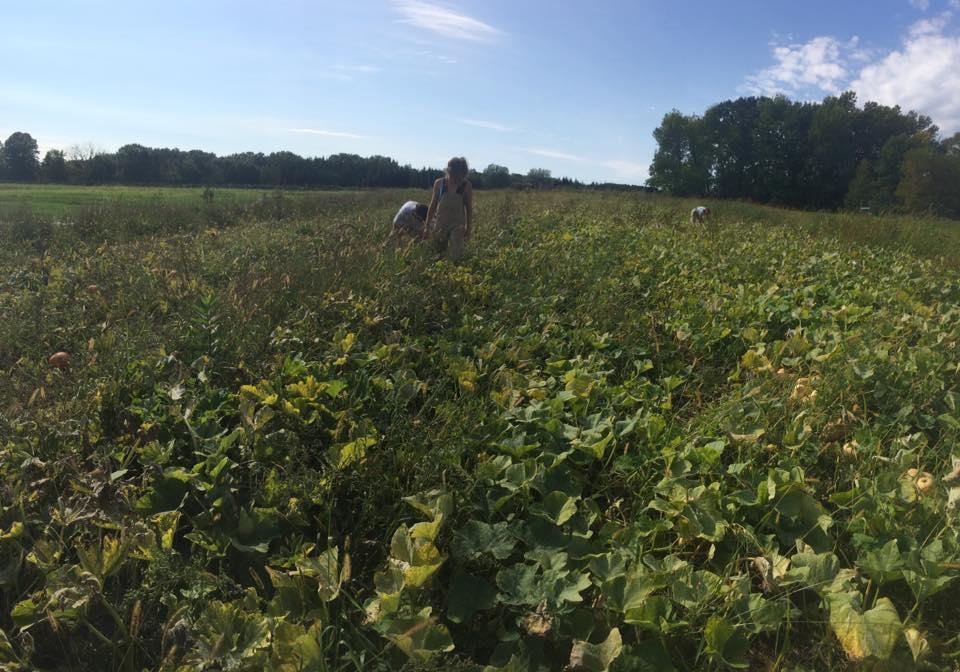squash field with a bumper crop!