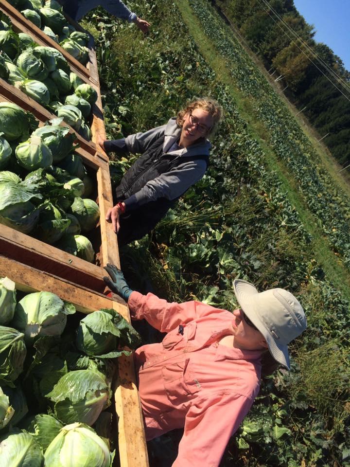 Cabbage harvest for Angelica's Garden ferments.